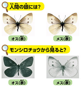 国語 4年生 国語 : モンシロチョウの翅は白くない ...