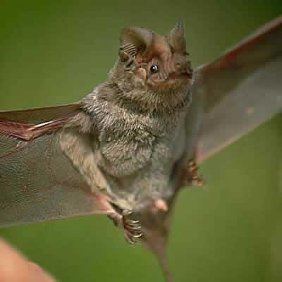 メキシコオヒキコウモリ