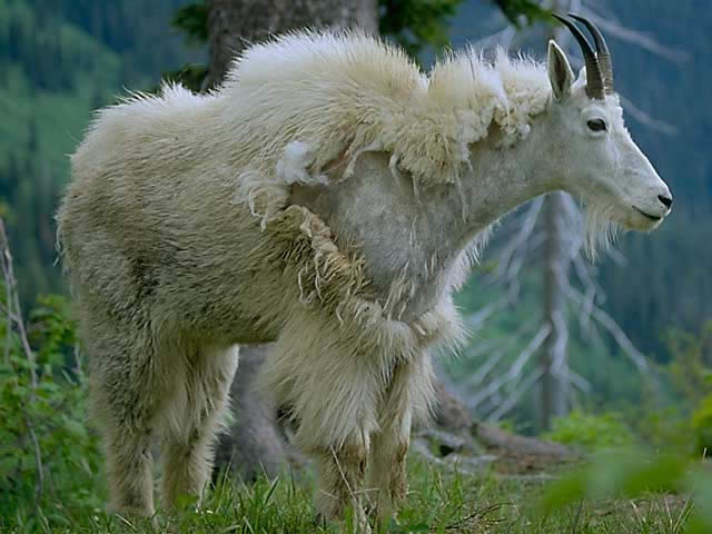 シロイワヤギの画像 p1_7