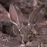 オグロジャックウサギ