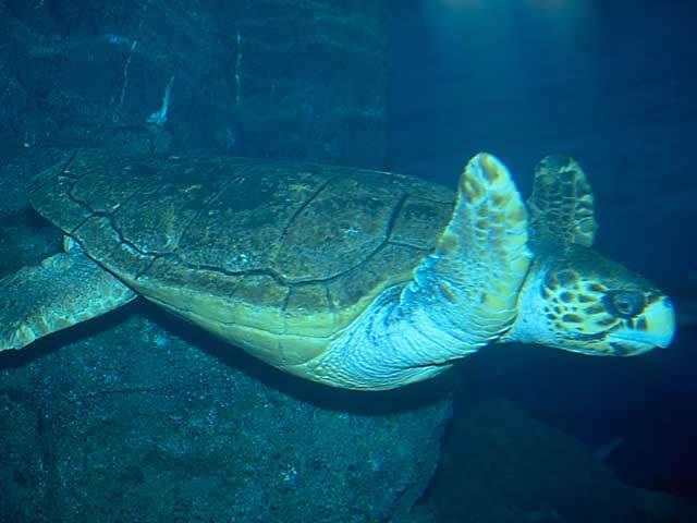 アカウミガメの画像 p1_3