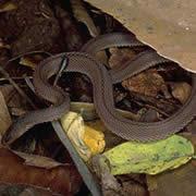タカチホヘビ