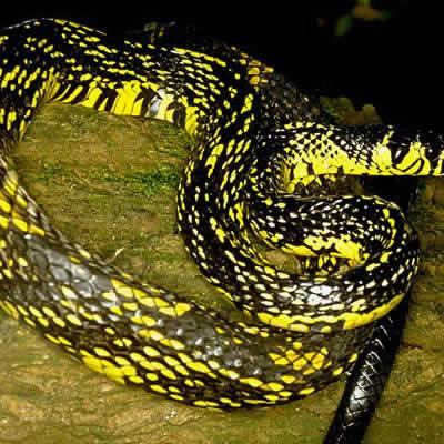 フミキリヘビ
