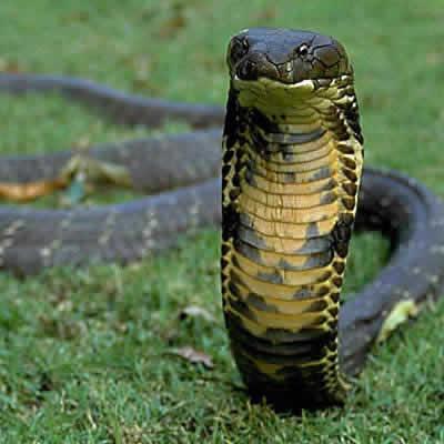キングコブラ