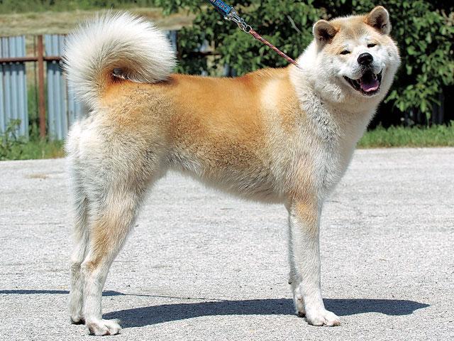秋田犬の画像 p1_24