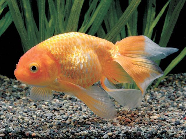 秋錦 基本データ 分類魚 - 金魚 原産地日本(愛知県) 説明 1880年代...  Yahoo
