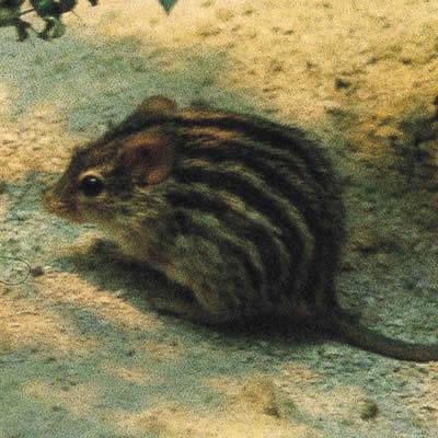 シマクサマウス