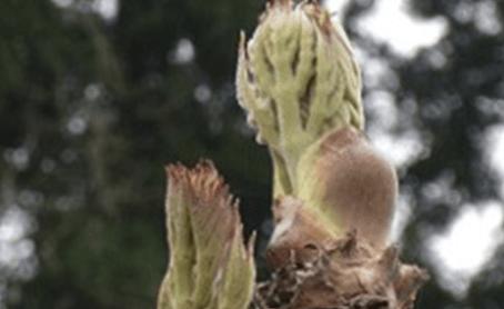 天然山菜タラの芽