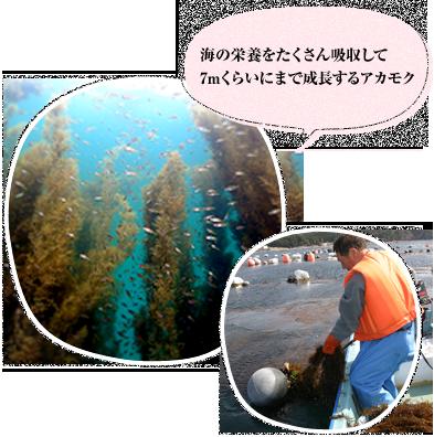 海の栄養をたくさん吸収して7mくらいにまで成長するアカモク