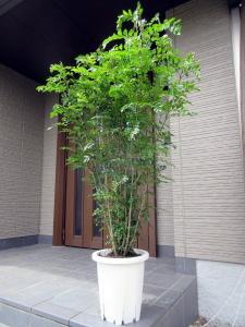 観葉植物 特大シマトネリコ