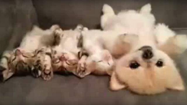 同じ格好で寝る子ネコ3匹+犬にもん絶